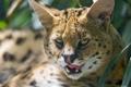 Картинка язык, кошка, взгляд, сервал, ©Tambako The Jaguar