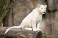 Картинка кошка, взгляд, бревно, детёныш, котёнок, львёнок, белый лев