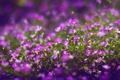 Картинка Ботанический сад, розовые цветы, макро