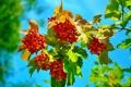 Картинка небо, листья, ягоды, ветка