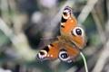 Картинка бабочка, крылья, насекомое, павлиний глаз