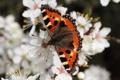 Картинка крапивница, бабочка, малый черепаховый, фон, цвет, размытость