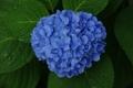 Картинка листья, куст, синяя, цветки, гортензия