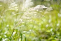 Картинка трава, растение, зелень, пушистый, колосок, поляна, белый