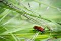 Картинка трава, листья, жук, колоски, насекомое