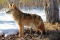 Картинка зима, лес, Coyote