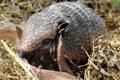 Картинка трава, сено, детеныш, броненосец, млекопитающее, Chaetophractus vellerosus, Длинноволосый броненосец