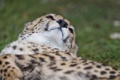 Картинка кошка, морда, нос, гепард, ©Tambako The Jaguar