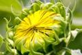 Картинка цветок, жёлтый, лепестки, бутон