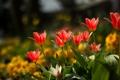Картинка лето, тюльпаны, клумба