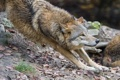 Картинка листья, трава, профиль, ©Tambako The Jaguar, волк, хищник