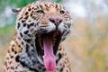 Картинка язык, пасть, ягуар