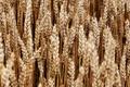 Картинка пшеница, поле, макро, природа, колоски, колосья, колосок