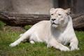 Картинка кошка, трава, белая львица