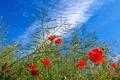 Картинка небо, трава, облака, цветы, маки, луг