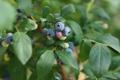 Картинка ветки, blueberries, branches, berries, ягоды, листья, черника