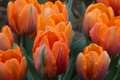 Картинка капли, роса, лепестки, сад, тюльпаны, клумба