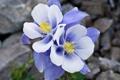 Картинка макро, цветы, синий, камни, голубой, нежность, Aquilegia