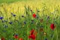 Картинка колоски, трава, маки, поле, зелень, макро, цветы
