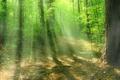 Картинка лес, солнце, лучи, свет, деревья, природа, листва