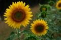 Картинка цветок, подсолнухи, подсолнух, photographer, Mariluz Rodriguez