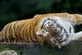 Картинка кошка, тигр, отдых, амурский, ©Tambako The Jaguar