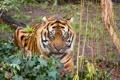 Картинка тигр, суматранский, взгляд, кошка