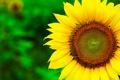 Картинка цветок, лето, макро, желтый, природа, растение, подсолнух