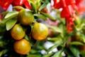 Картинка природа, дерево, цитрусы, мандарины