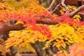 Картинка листья, осень, ветки, багрянец, дерево