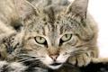 Картинка кот, глаза, морда, взгляд, усы