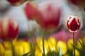 Картинка цветы, фокус, тюльпаны, красно-белый