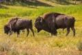 Картинка животные, природа, национальный парк, бизоны