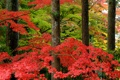 Картинка осень, лес, природа, парк, Япония, клен