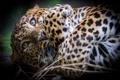 Картинка кошка, взгляд, лапы, леопард