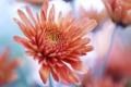 Картинка макро, цветы, красная, хризантема