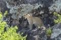 Картинка скалы, хищник, леопард, оскал