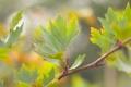 Картинка листья, клен, природа, зелень, ветка, дерево