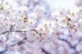 Картинка цветы, ветки, дерево, весна, белые, цветение
