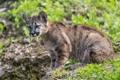 Картинка трава, детёныш, котёнок, пума, горный лев, кугуар, ©Tambako The Jaguar