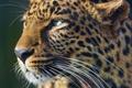 Картинка взгляд, морда, хищник, леопард, leopard