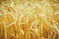 Картинка пшеница, макро, природа, колоски