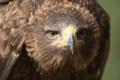 Картинка взгляд, хищник, клюв, Степной орёл