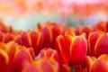 Картинка макро, цветы, весна, тюльпаны