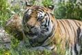 Картинка кошка, лето, трава, амурский тигр, ©Tambako The Jaguar