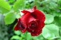 Картинка роза, Bud, rose, цветок, flower, бутон