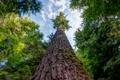 Картинка лес, дерево, Вашингтон, США, Quinault