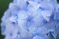 Картинка капли, роса, соцветие, синяя, гортензия, макро