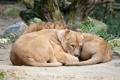 Картинка кошки, отдых, лев, семья, львы, львица