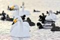 Картинка утки, птицы, лебеди, вода